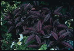 Strobilanthes - Persian Shield