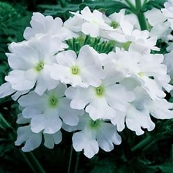 Verbena - Lanai® Blush White