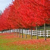 Autumn Blaze® Red Maple