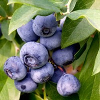 Peach Sorbet Blueberry Buy Online At Nature Hills Nursery
