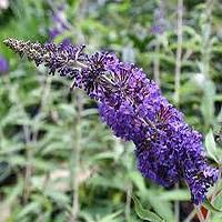 Adonis Blue Butterfly Bush