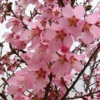 Okame Cherry