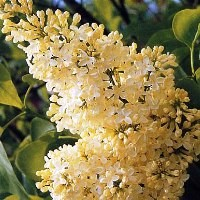 Lilac Bushes For Sale Online Nature Hills Nursery