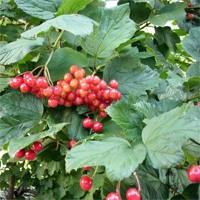 Viburnum - Compact American Cranberrybush