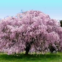 Buy Ornamental Trees For Sale Online Nature Hills