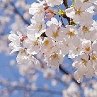 Yoshino Flowering Cherry