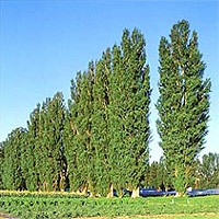 Lombardy Poplar Trees Buy Online At Nature Hills Nursery