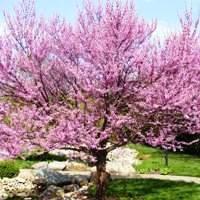 Eastern Redbud Trees Buy Online At Nature Hills Nursery