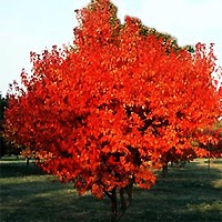 Flame Amur Maple Trees Buy Online At Nature Hills Nursery