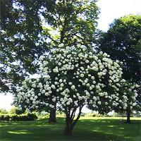 Hydrangea Lime Light Tree Form
