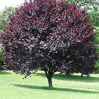 Newport Plum Trees Buy Online At Nature Hills Nursery