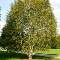 Paper Birch Trees Buy Online At Nature Hills Nursery