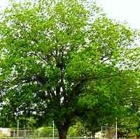 Hardy Pecan Trees Buy Online At Nature Hills Nursery