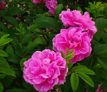 Therese Bugnet Rose Buy Online At Nature Hills Nursery