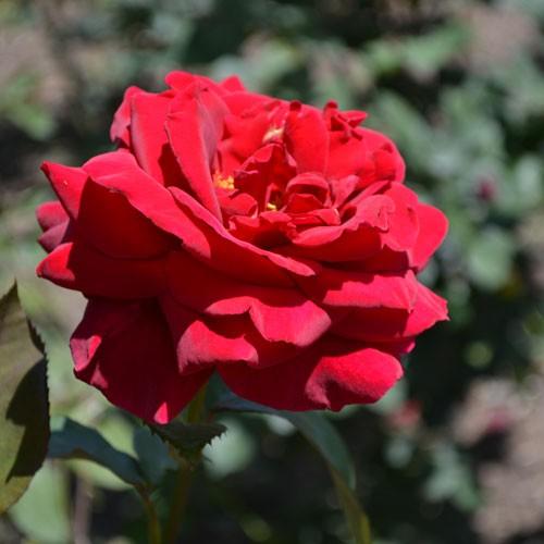 Mr Lincoln Hybrid Tea Rose Buy Online At Nature Hills