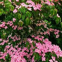 Satomi Dogwood Trees Buy Online At Nature Hills Nursery