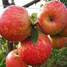 Apple Tree - Cox Orange Pippin