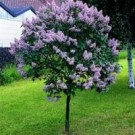 Bloomerang Lilac Tree Form