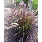 Grass - Graceful Grasses® - Purple Fountain