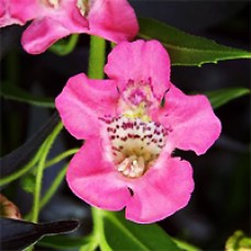 Angelonia - Angelface® Pink