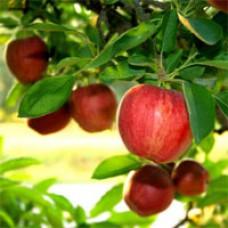 Apple Tree - Braeburn