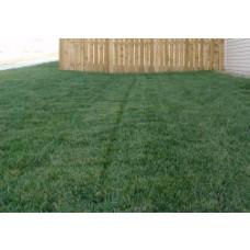 Bella Bluegrass Grass Plugs