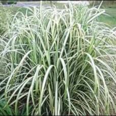 Cabaret Maiden Grasses