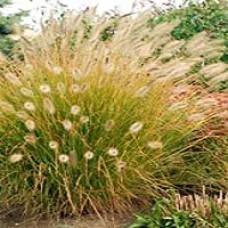 Grass - Desert Plains